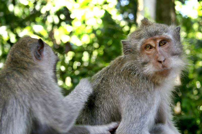 Complete Your Tanah Lot Tour by Visiting Alas Kedaton Monkey Forest 3