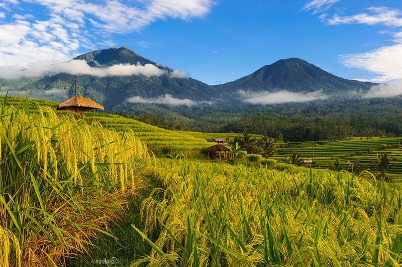 Lets Join with English Bali Cab Driver to Explorer Jatiluwih Rice Terraces 2