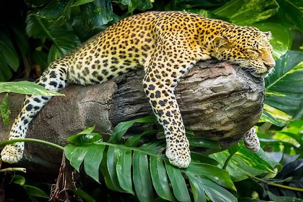 Leopard package price